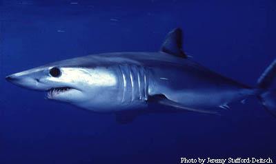 Alalonga Mako - Cavalier & Blue Marlin Sport Fishing Gran Canaria