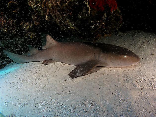 Squalo nutrice - Cavalier & Blue Marlin Sport Fishing Gran Canaria