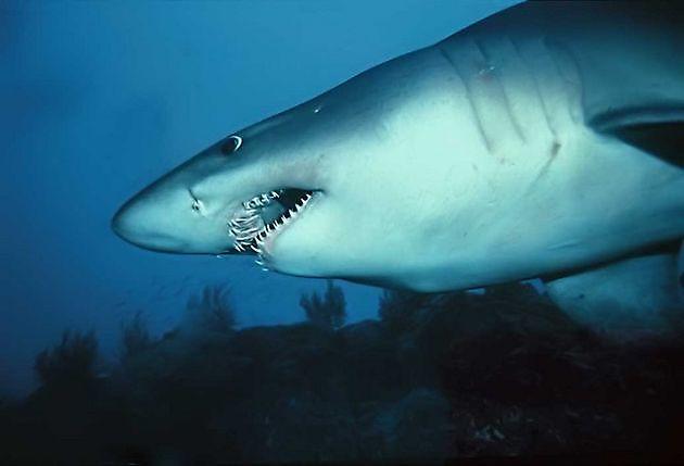 Odontaspide féroce - Cavalier & Blue Marlin Sport Fishing Gran Canaria