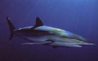 Haai zijde - Cavalier & Blue Marlin Sport Fishing Gran Canaria