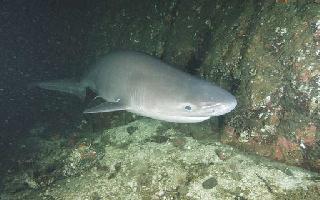 Mounge gris - Cavalier & Blue Marlin Sport Fishing Gran Canaria
