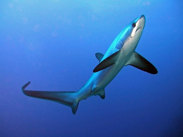 Haai vos dunstaart - Cavalier & Blue Marlin Sport Fishing Gran Canaria