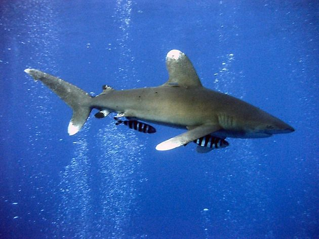 Aileron Blanc - Cavalier & Blue Marlin Sport Fishing Gran Canaria