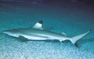 Squalo Orlato - Cavalier & Blue Marlin Sport Fishing Gran Canaria