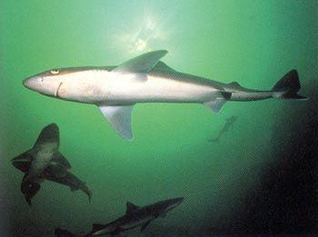 Requin Chenille - Pesca Deportiva Cavalier & Blue Marlin Gran Canaria