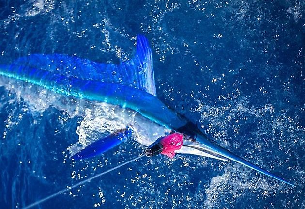 Speervis langsnavel - Cavalier & Blue Marlin Sport Fishing Gran Canaria