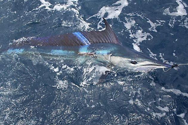 Speervis kortsnavel - Cavalier & Blue Marlin Sport Fishing Gran Canaria