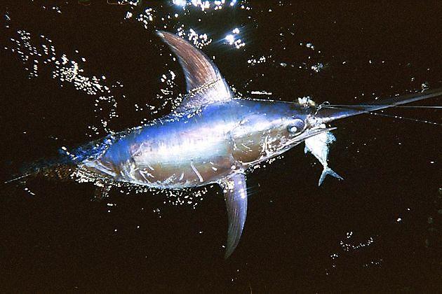 Emperadour - Pesca Deportiva Cavalier & Blue Marlin Gran Canaria