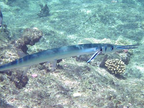 Aiguille de Mer - Pesca Deportiva Cavalier & Blue Marlin Gran Canaria