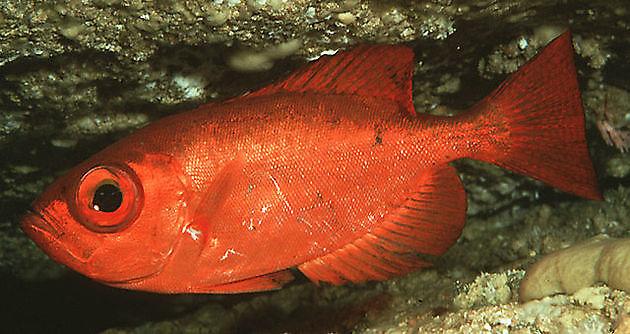 Pesce specchio - Cavalier & Blue Marlin Sport Fishing Gran Canaria