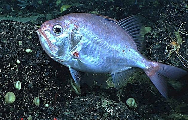 Hoplostète de Darwin - Cavalier & Blue Marlin Sport Fishing Gran Canaria