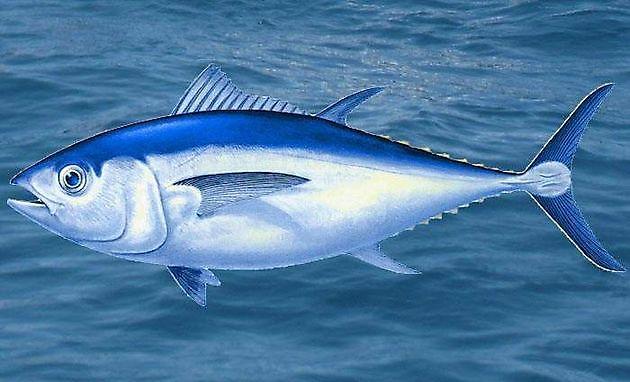 Thon aux Grands Yeux - Cavalier & Blue Marlin Sport Fishing Gran Canaria