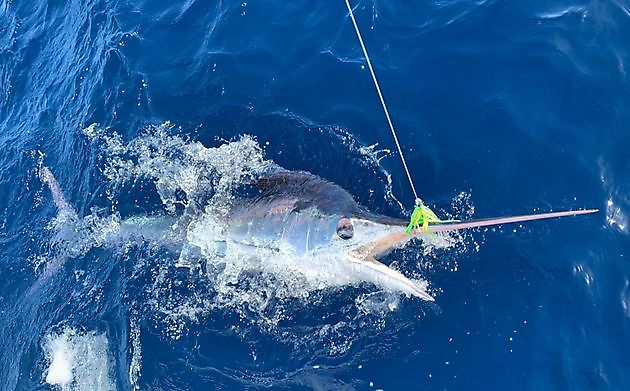 Klaas Westerhof released White & Blue Marlin - Cavalier & Blue Marlin Sport Fishing Gran Canaria