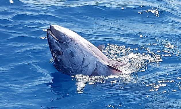 Cavalier released 300 kg Blauwvin Tonijn - Cavalier & Blue Marlin Sport Fishing Gran Canaria