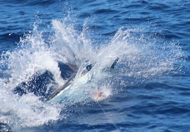 White Marlin - Cavalier & Blue Marlin Sport Fishing Gran Canaria