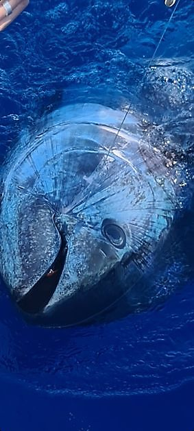 Cavalier released Bluefin nr 6 - Cavalier & Blue Marlin Sport Fishing Gran Canaria