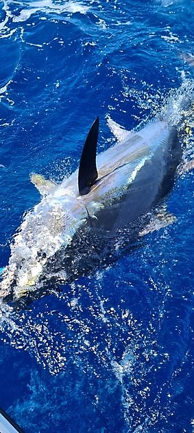 90 lbs break - 7 hours - Cavalier & Blue Marlin Sport Fishing Gran Canaria