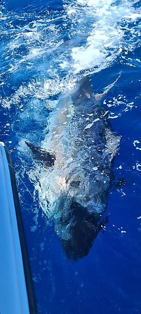Bluefin Tuna 13 & 14 - Cavalier & Blue Marlin Sport Fishing Gran Canaria