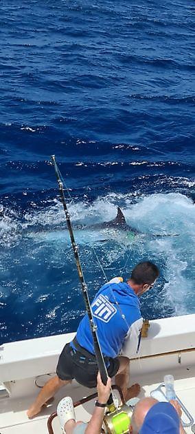 El primer Blue Marlin de 2021 released - Pesca Deportiva Cavalier & Blue Marlin Gran Canaria