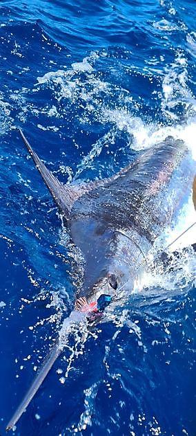 440 lb de aguja azul liberada - Pesca Deportiva Cavalier & Blue Marlin Gran Canaria