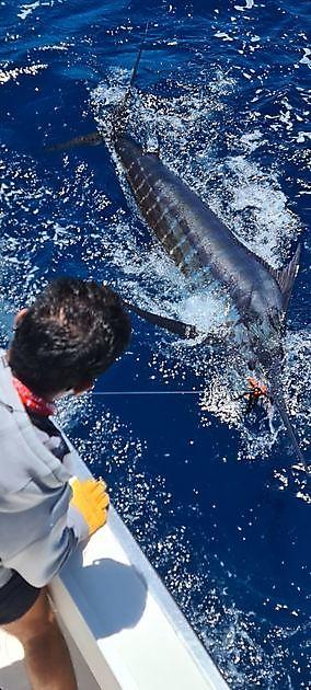 Marlín azul de 330 libras - Pesca Deportiva Cavalier & Blue Marlin Gran Canaria