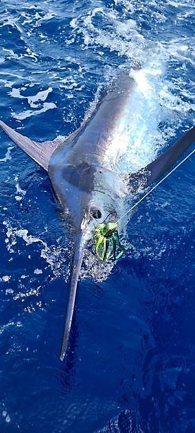 2/3 Blue Marlin on Cavalier - Cavalier & Blue Marlin Sport Fishing Gran Canaria