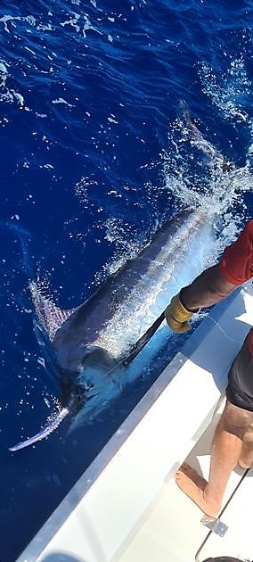 500 lb de aguja azul liberada - Pesca Deportiva Cavalier & Blue Marlin Gran Canaria
