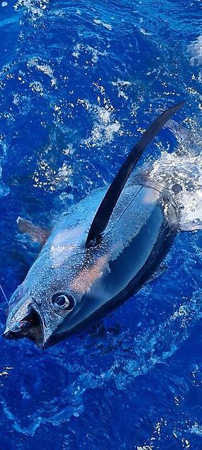 2 Albacores _Atún Blanco_ - Pesca Deportiva Cavalier & Blue Marlin Gran Canaria