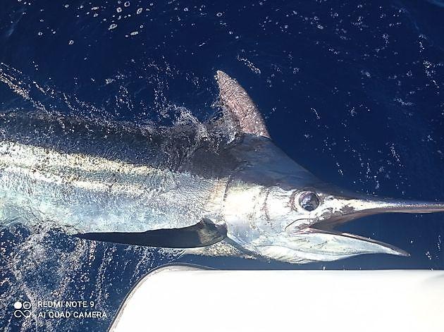 400 lbs Blauwe Marlijn - Cavalier & Blue Marlin Sport Fishing Gran Canaria