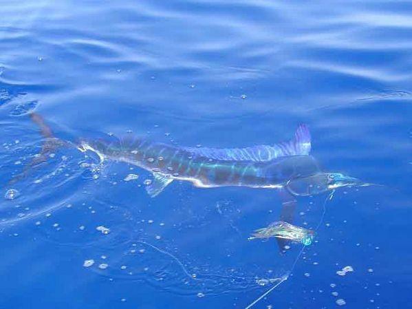 15/06 spearfish Cavalier & Blue Marlin Sport Fishing Gran Canaria