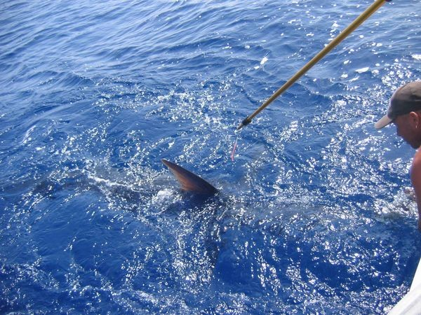 20/06 blue marlin Cavalier & Blue Marlin Sport Fishing Gran Canaria