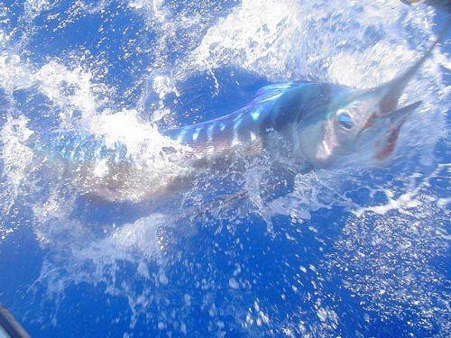 Speervis langsnavel Cavalier & Blue Marlin Sport Fishing Gran Canaria