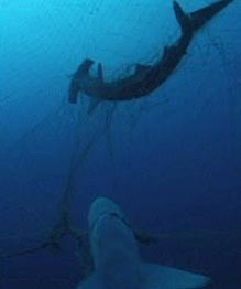 hammerhead shark Cavalier & Blue Marlin Sport Fishing Gran Canaria