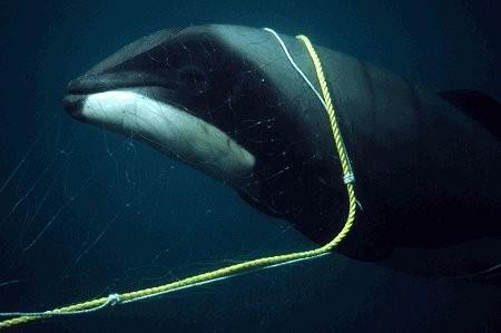 killer whale Cavalier & Blue Marlin Sport Fishing Gran Canaria