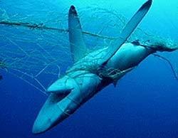 shark Cavalier & Blue Marlin Sport Fishing Gran Canaria