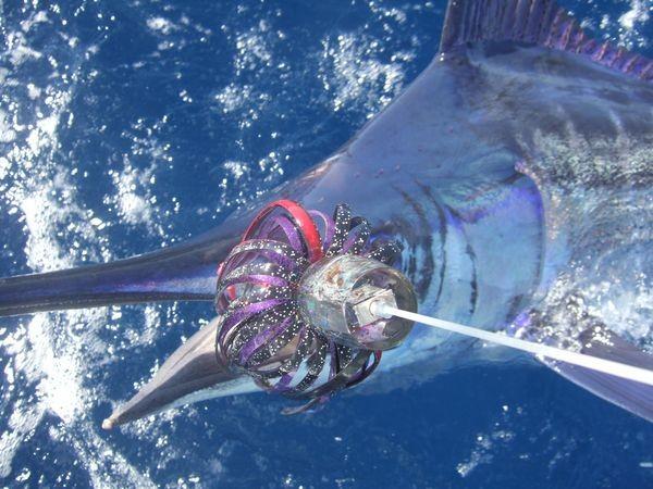 05/06 blue marlin Cavalier & Blue Marlin Sport Fishing Gran Canaria