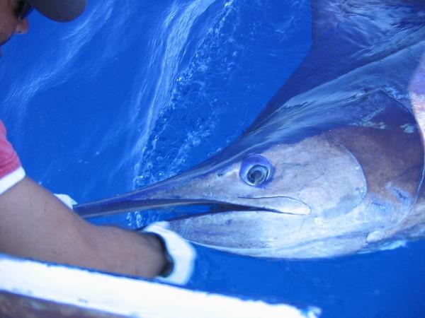 12/06 blue marlin Cavalier & Blue Marlin Sport Fishing Gran Canaria