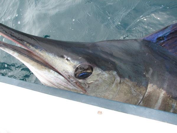 28/06 blue marlin Cavalier & Blue Marlin Sport Fishing Gran Canaria