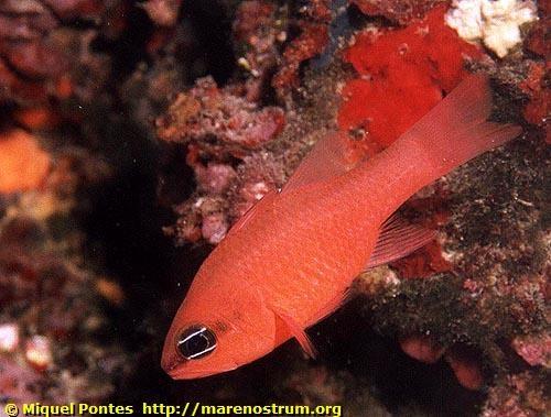 Cardinalfish Cavalier & Blue Marlin Sport Fishing Gran Canaria