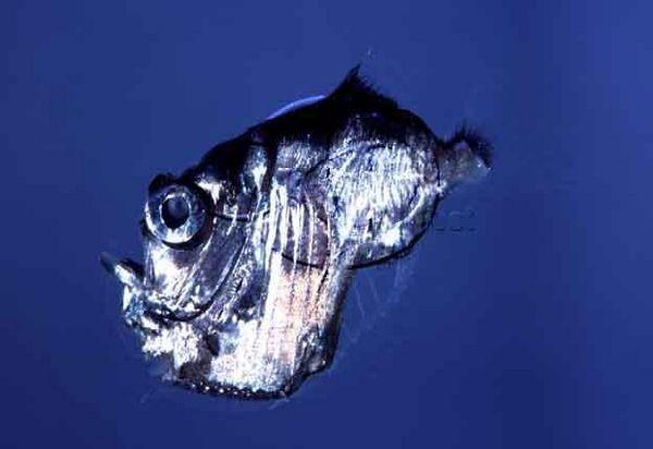 Hatchet fish Cavalier & Blue Marlin Sport Fishing Gran Canaria