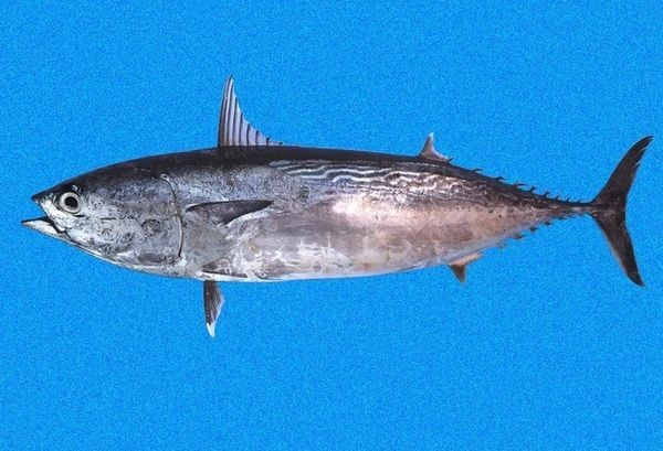 Tuna frigate Cavalier & Blue Marlin Sport Fishing Gran Canaria