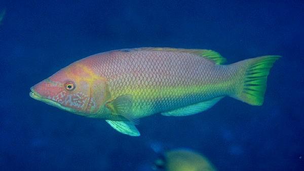 Hogfishbarred Cavalier & Blue Marlin Sport Fishing Gran Canaria