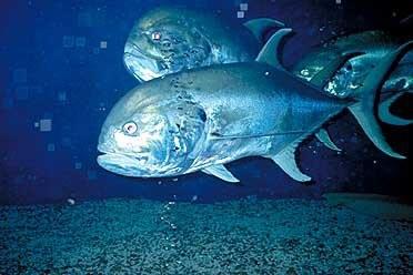 Jack crevalle Cavalier & Blue Marlin Sport Fishing Gran Canaria