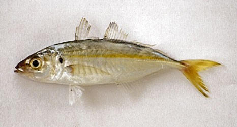 Scad false Cavalier & Blue Marlin Sport Fishing Gran Canaria