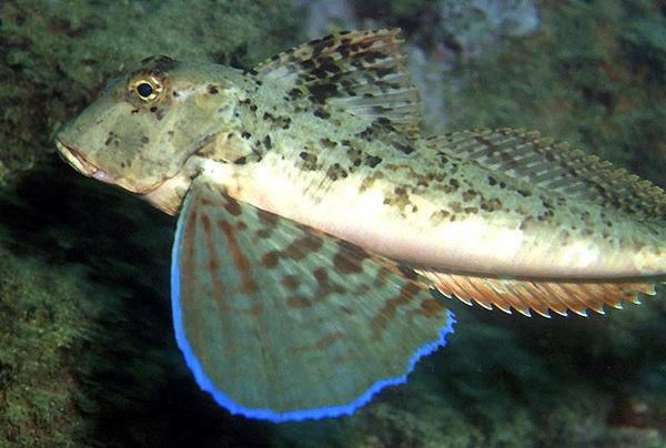 Gurnard streaked Cavalier & Blue Marlin Sport Fishing Gran Canaria
