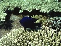 Damselfish white Cavalier & Blue Marlin Sport Fishing Gran Canaria