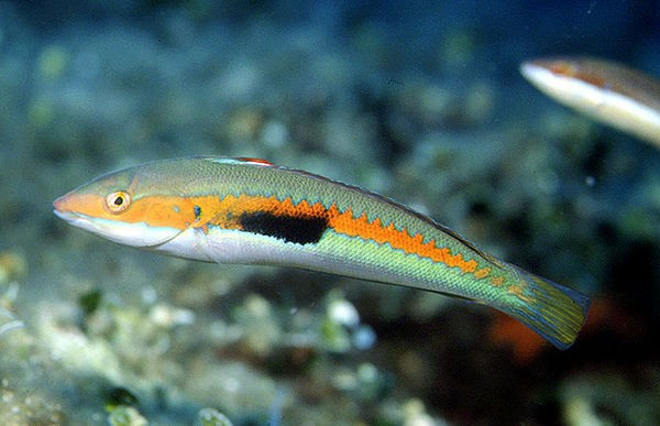 WrasseMediterranean rainbow Cavalier & Blue Marlin Sport Fishing Gran Canaria