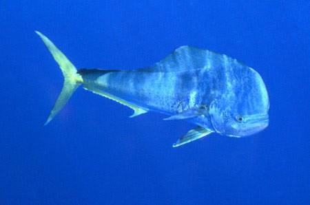 Delfinfisk vanligt Cavalier & Blue Marlin Sport Fishing Gran Canaria
