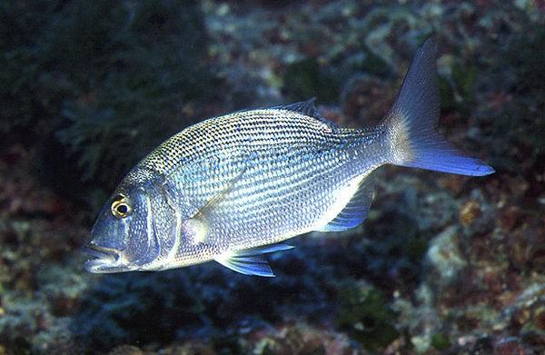 Dentex common Cavalier & Blue Marlin Sport Fishing Gran Canaria