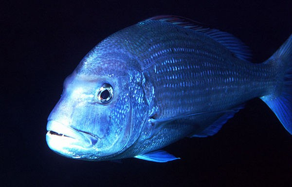 Dentex pink Cavalier & Blue Marlin Sport Fishing Gran Canaria